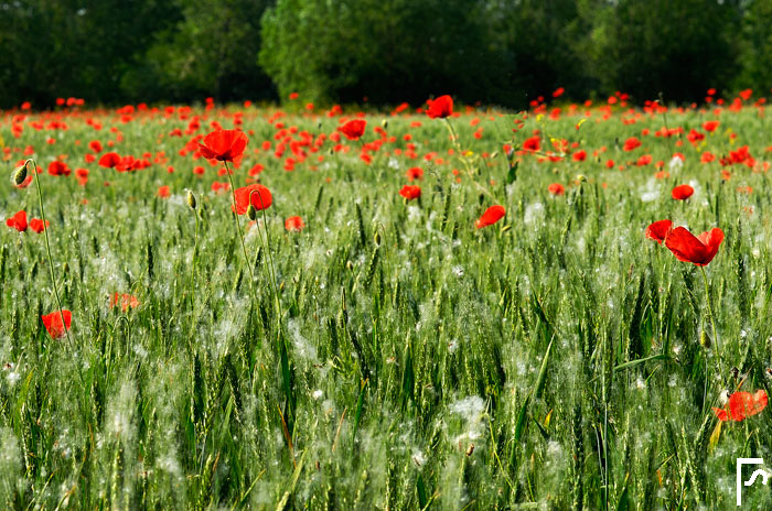 Poppies & poplar seeds